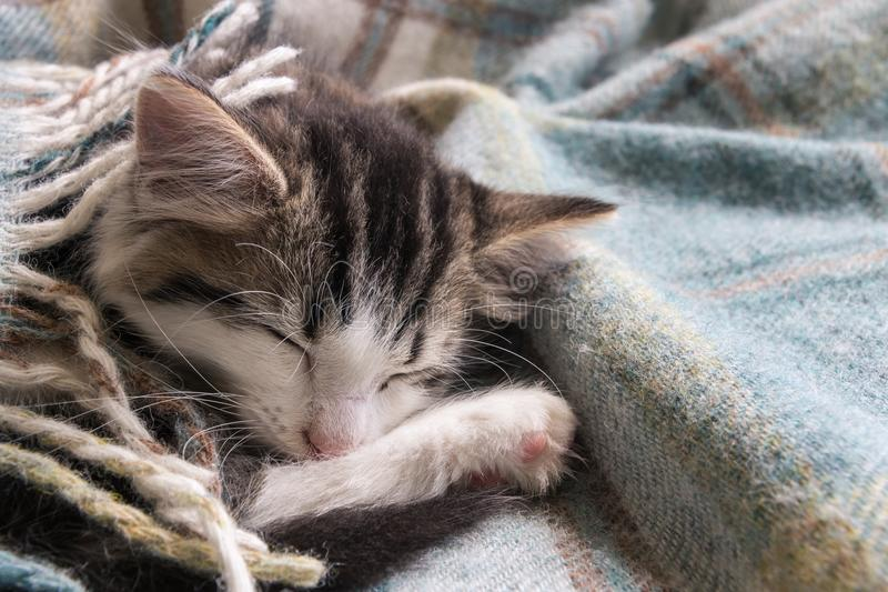 Cute tabby kitten sleeping under wool blanket stock photo