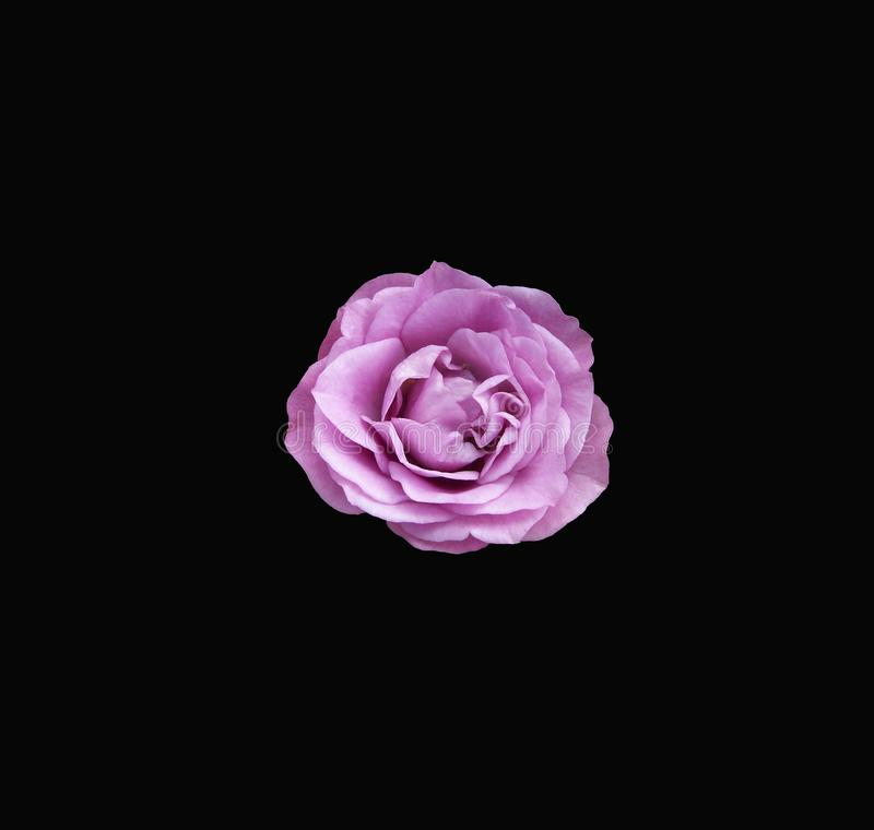 Beautiful lavender rose centered on a dramatic black background. Closeup of a dainty lavender colored rose centered on a dramatic black background royalty free stock photography