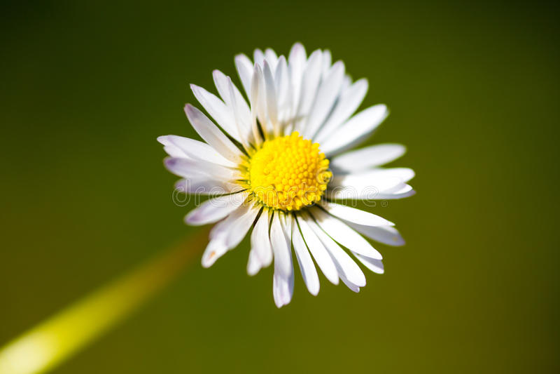 Closeup of daisy flower stock image