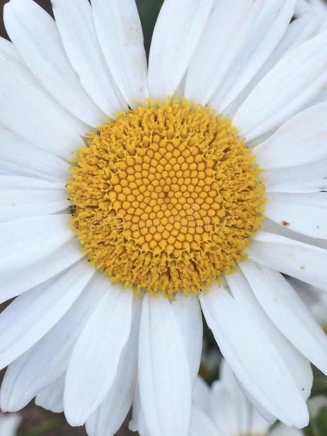 Closeup of daisy head with yellow center and white outer rays royalty free stock images