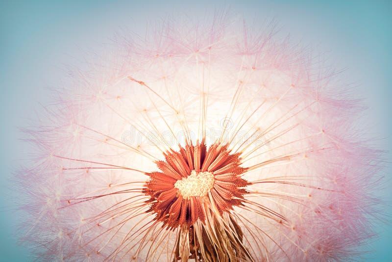 Closeup of dandelion royalty free stock photos