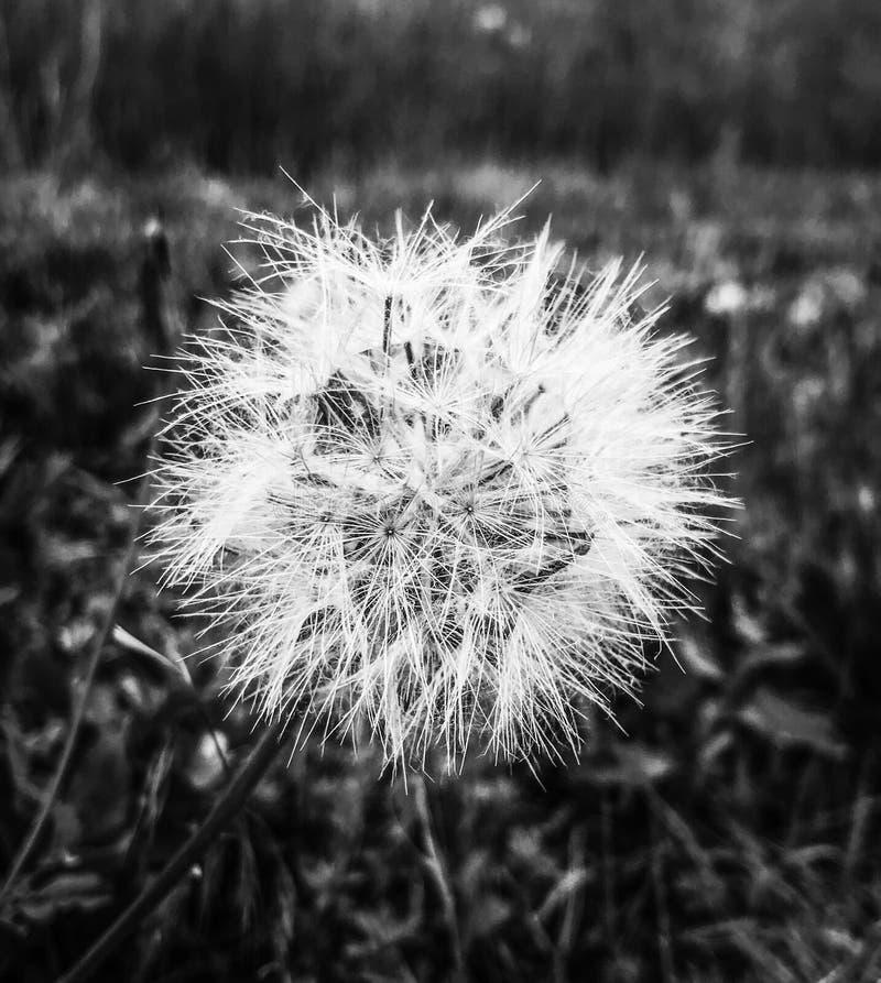 A closeup on a dandelion royalty free stock photos