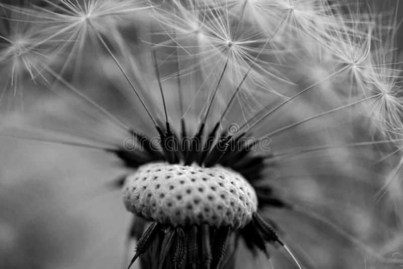 Closeup of dandelion seed/ conceptual image of luck and good wishes. Closeup of beautiful dandelion/ Dandelion seeds/ Macro and closeup photography stock photo