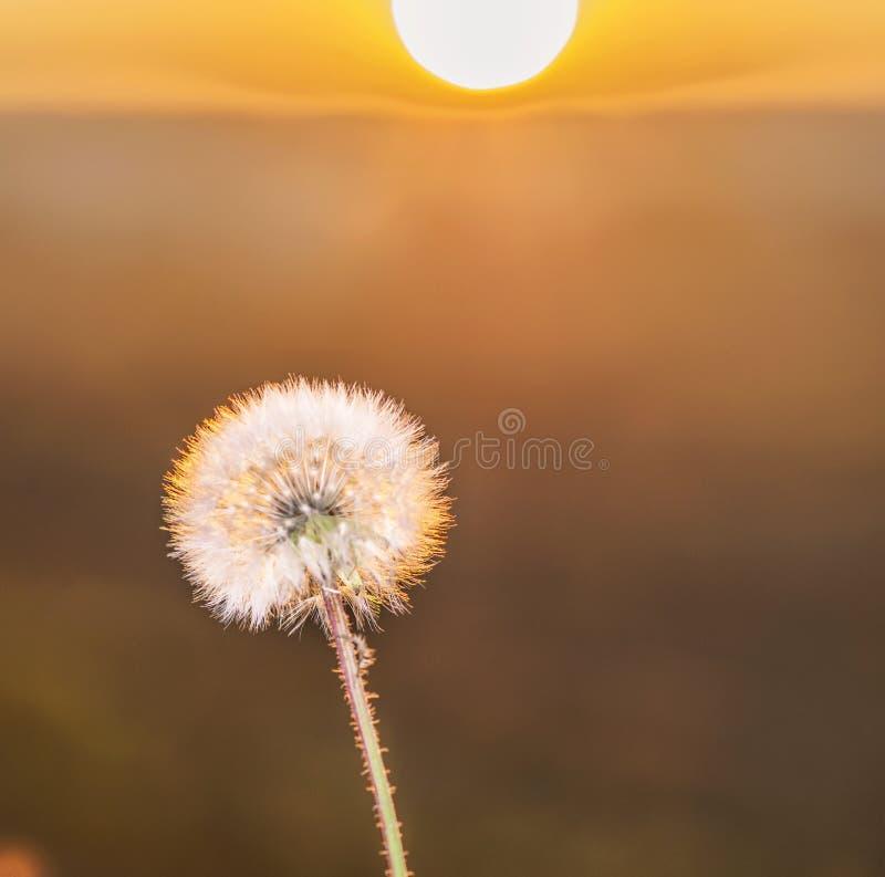 Dandelion White Globular Head Of Seeds On The Blue Sky: Dandelion Seed Head (Taraxacum Officinale) Silhouette