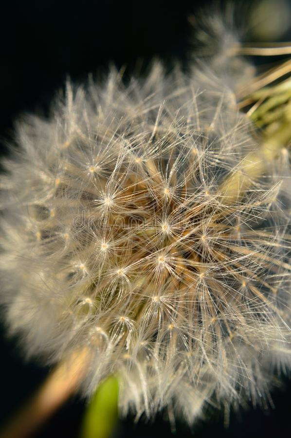 Download Closeup Of Dandelion Seed Puff Ball Stock Photo - Image of evolved, herb: 107918480