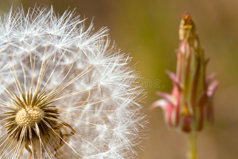 Closeup of Dandelion Seeds royalty free stock image