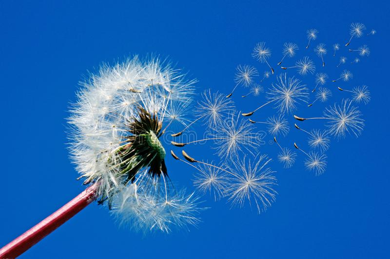 Dandelion seeds flying in the wind royalty free stock photography