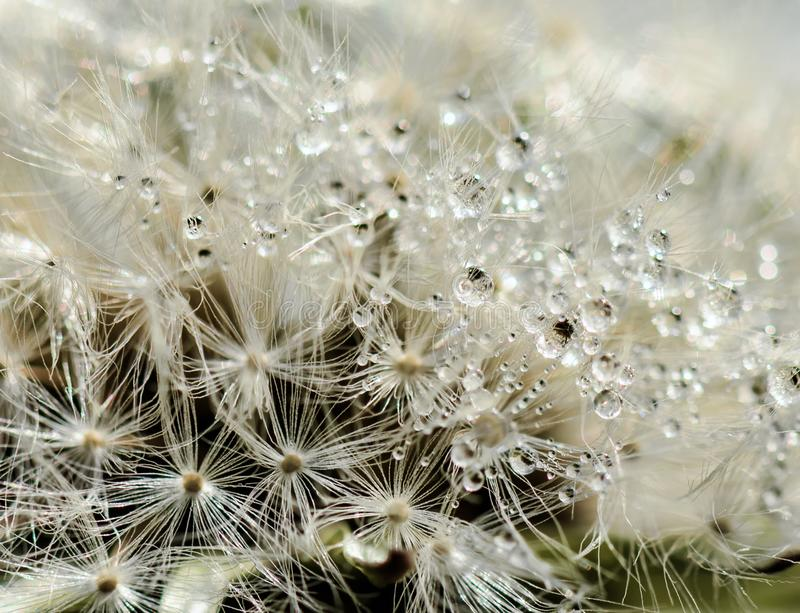 Closeup of a dandelion with water drops royalty free stock image