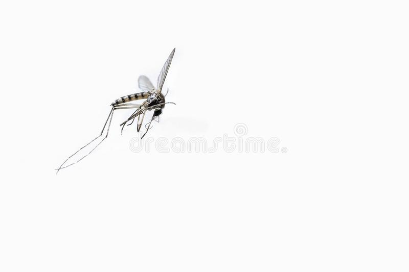 Closeup dead tiger mosquito isolated on white background. Closeup of dead tiger mosquito Aedes albopictus - Stegomyia albopicta, also known as Asian mosquito or stock image