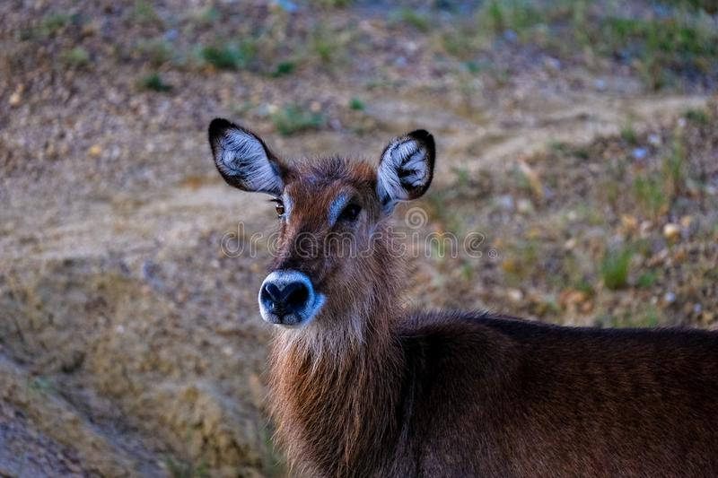 Closeup of a deer with a blurred background stock image
