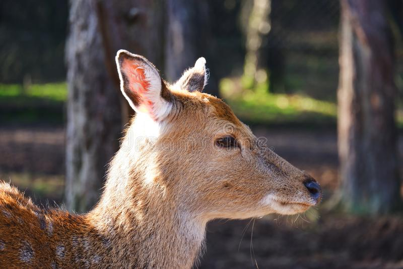 Closeup deer forest side view forest. Closeup young deer forest side view forest natural animal serene brown eyes stock images