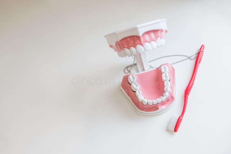Toothbrush Brushing Model Teeth jaw Samples Tooth Model In