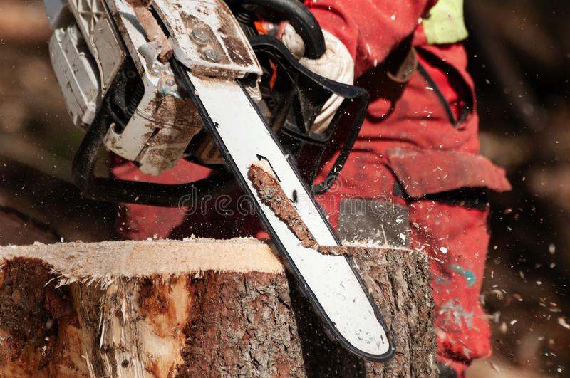 Forestry worker cleaning up stump of a spruce tree with chainsaw. Closeup detail of forestry worker cleaning up the stump of a felled spruce tree with chainsaw royalty free stock image
