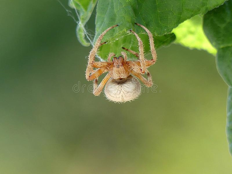 Closeup Detail of an Orb Weaver Spider Hanging from a Leaf stock image