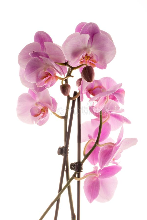 Beautiful pink orchid royalty free stock photos
