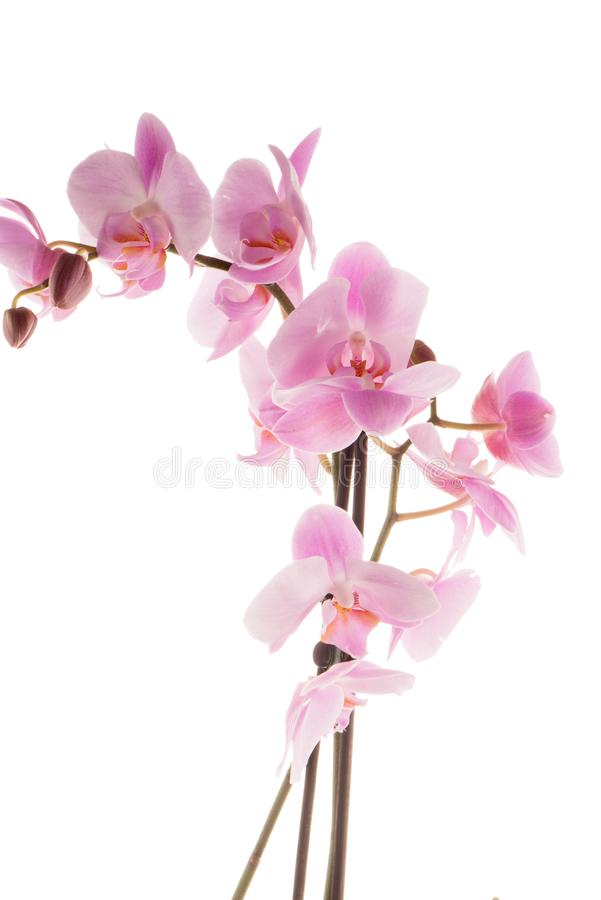 Beautiful pink orchid stock images