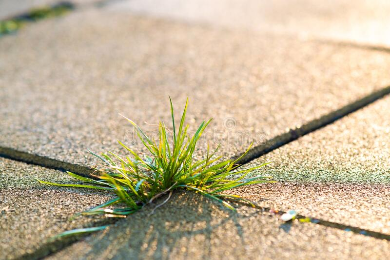 Closeup detail of weed green plant growing between concrete pavement bricks in summer yard.  royalty free stock photos