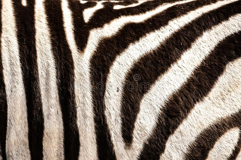 Detail of a zebra`s hair in the Addo Elephant National Park, near Port Elizabeth, South africa stock photos