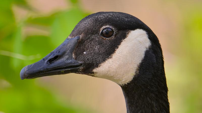 Closeup detailed portrait of a Canada goose with a colorful green and tan background / bokeh - taken at the Wood Lake Nature Cente royalty free stock photography
