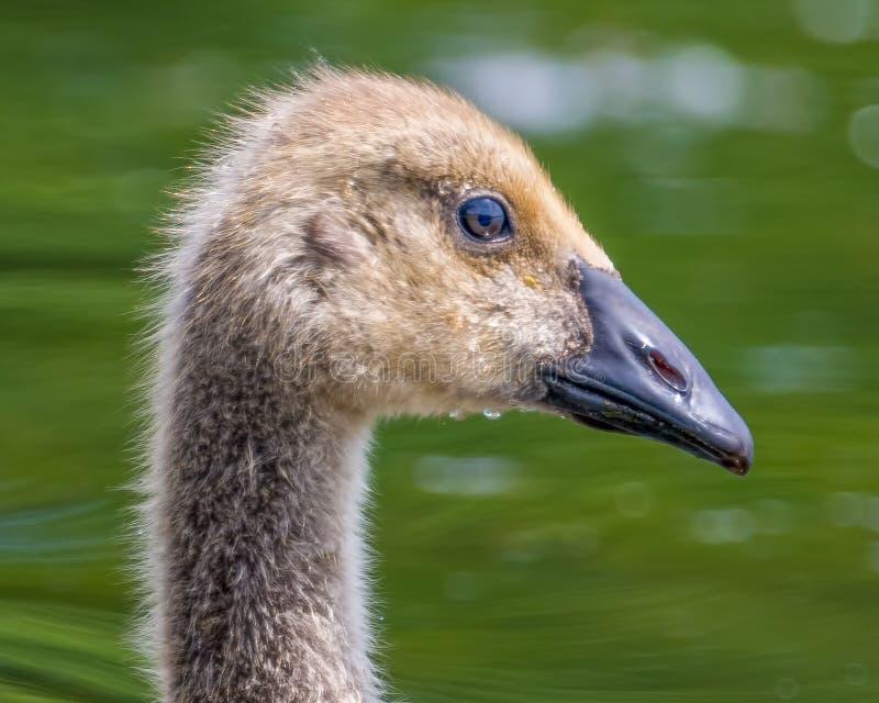Closeup detailed portrait of Canada goose gosling swimming in lake - Wood Lake Nature Center royalty free stock image