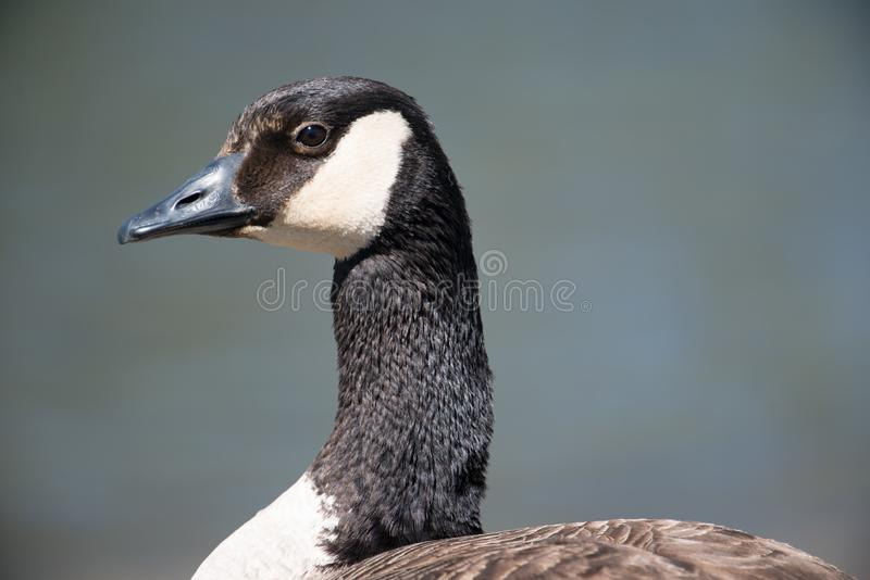 Closeup detailed portrait of a Canada goose potential a cackling goose but I am  not certain with a dark blue background - taken stock image