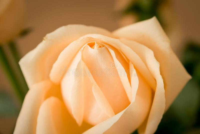 Closeup details of rose royalty free stock photo
