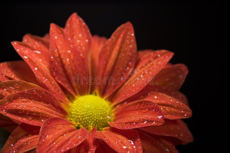 Closeup Of Dewy, Red Chrysanthemum Stock Photos