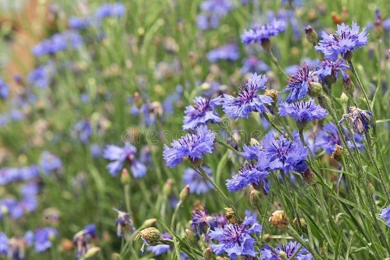 Closeup Dianthus violet flowers stock images