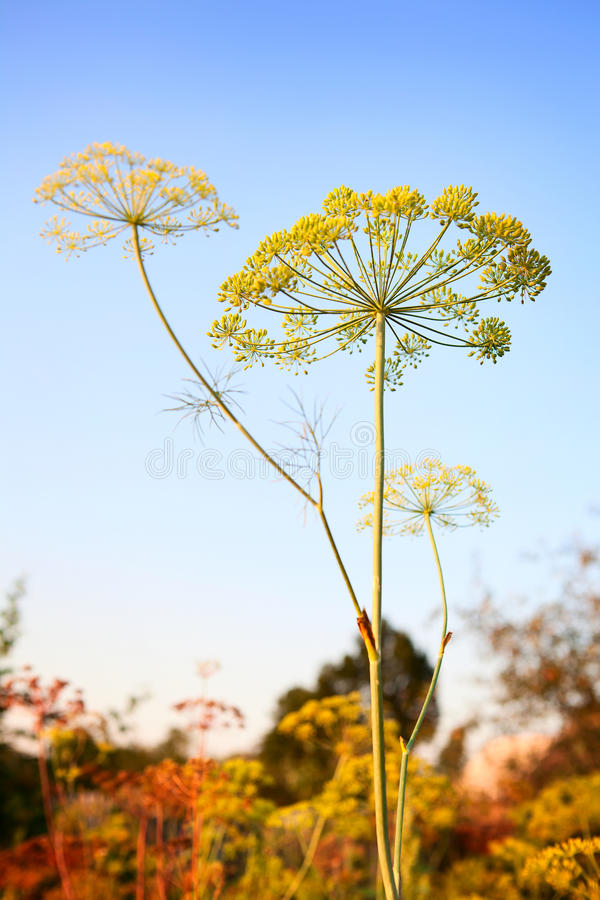Closeup of Dill flower umbels in autumn on blue royalty free stock photo