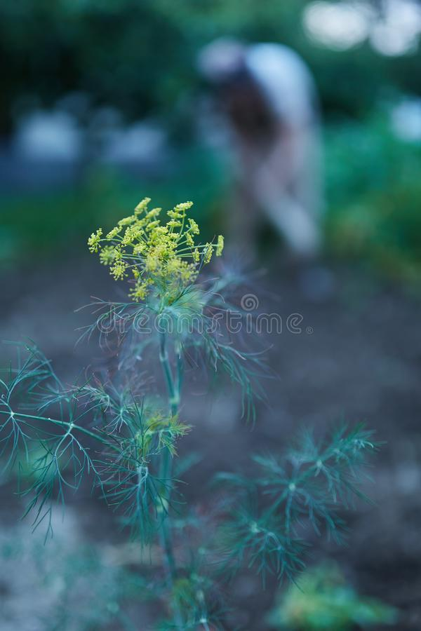 Closeup of dill flowers. Dill flowers in the garden, with a farmer woman in the blurred background stock photo