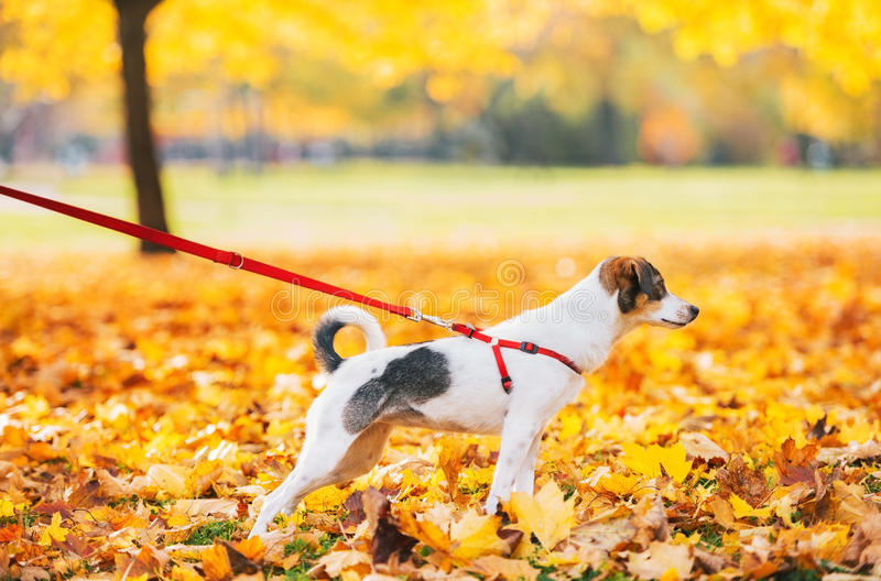 Closeup on dog on leash outdoors royalty free stock photos