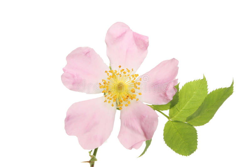 Closeup of a dog rose flower royalty free stock image