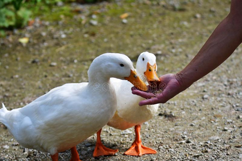 A closeup of Domestic Duck feeding from a hand.  stock photo