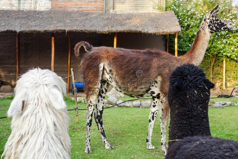 Domesticated llamas. Closeup of domesticated llamas, in Arequipa/Peru royalty free stock photo
