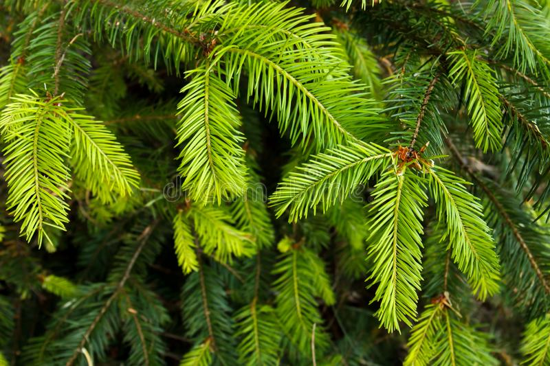 Closeup of douglas fir Pseudotsuga menziesii evergreen branches and needles. Background of douglas fir Pseudotsuga menziesii evergreen branches and needles stock images