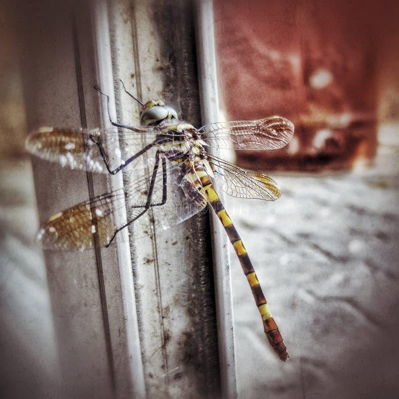 Closeup of Dragonfly stock photos