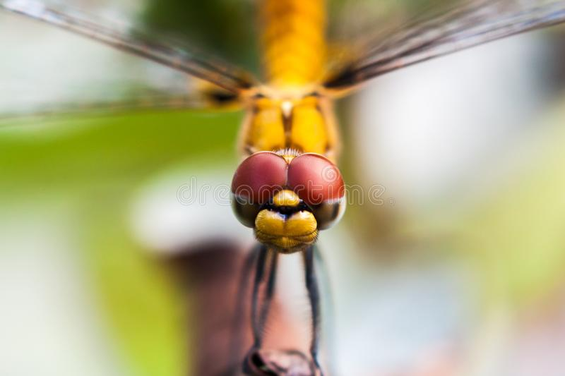 Closeup of Dragonfly head. Closeup of the head of Dragonfly facing towards camera found in Kerala, India stock image