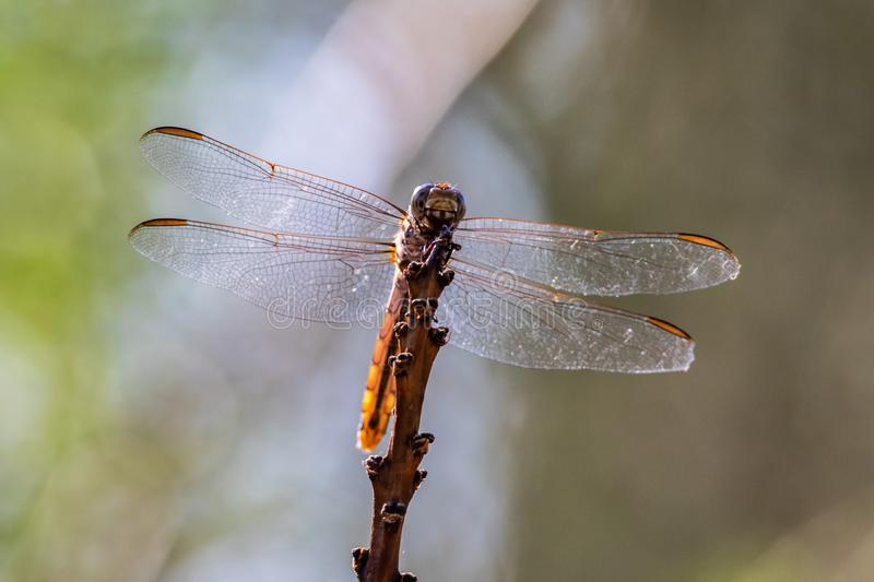 Closeup of dragonfly perched on tall plant. Detail of wings, head visible. Arizona`s Sonoran desert. stock photo