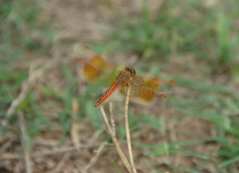 Closeup Dragonfly rest on the grass branch in the Nature stock photo