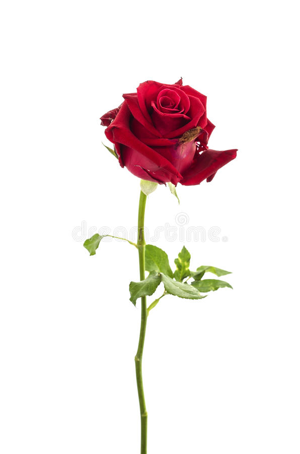 Closeup of the dried up bud of a red rose over white stock photo