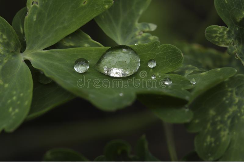 Drops of water on leaves of the plant Alchemilla. Closeup of the drops of water on the leaves of a plant after heavy rainfall. The species of plant is Alchemilla royalty free stock image