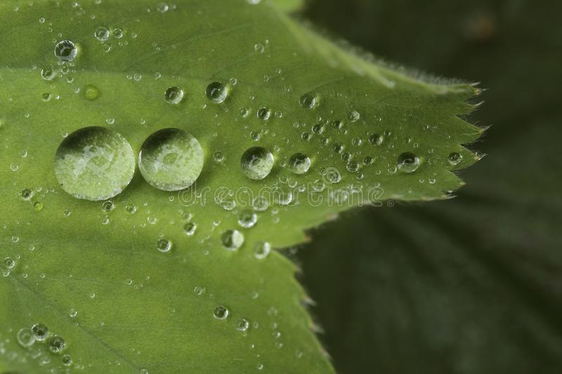 Drops of water on leaves of the plant Alchemilla. Closeup of the drops of water on the leaves of a plant after heavy rainfall. The species of plant is Alchemilla stock photography