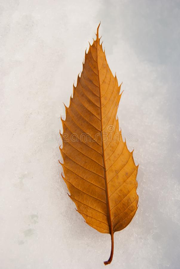 Closeup of a dry leaf on the snow stock images