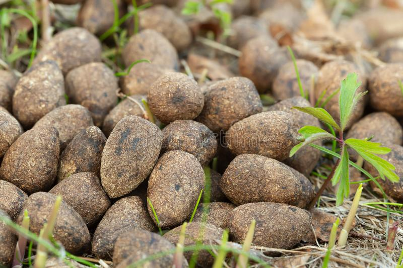 Dry moose droppings. Closeup of dry moose droppings royalty free stock photos