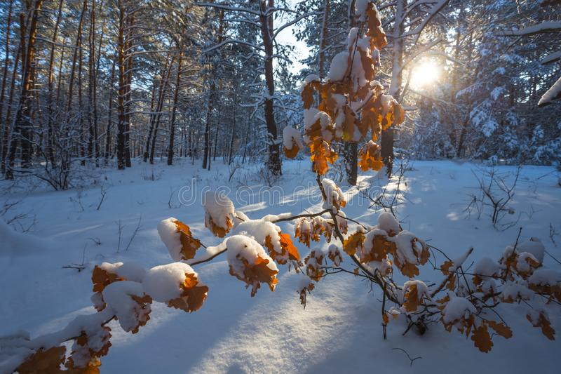 Closeup dry oak tree branch in the winter forest stock photos