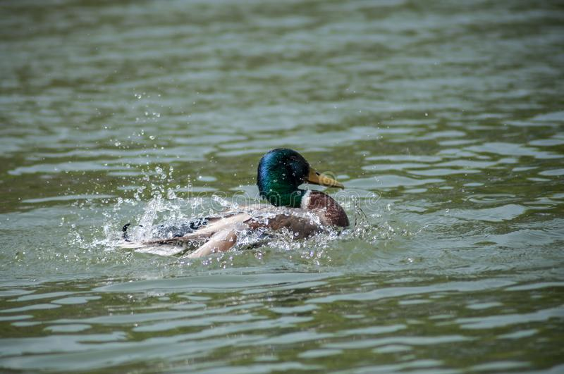duck splashing on the river royalty free stock photography