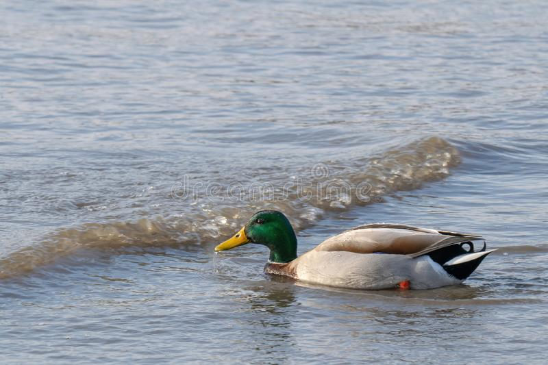 Closeup of a duck swimming in the shallow waters of the East River. Close-up of a duck swimming in the shallow waters of the East River royalty free stock photos