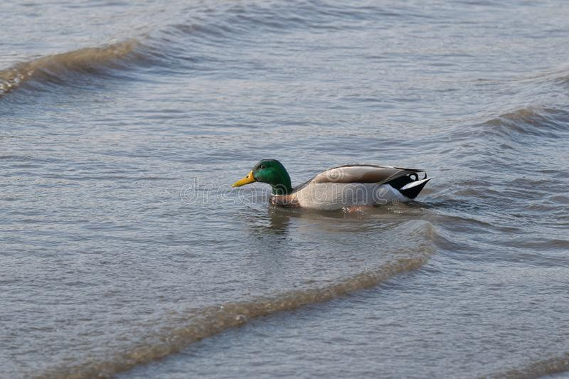 Closeup of a duck swimming in the shallow waters of the East River. Close-up of a duck swimming in the shallow waters of the East River stock photography
