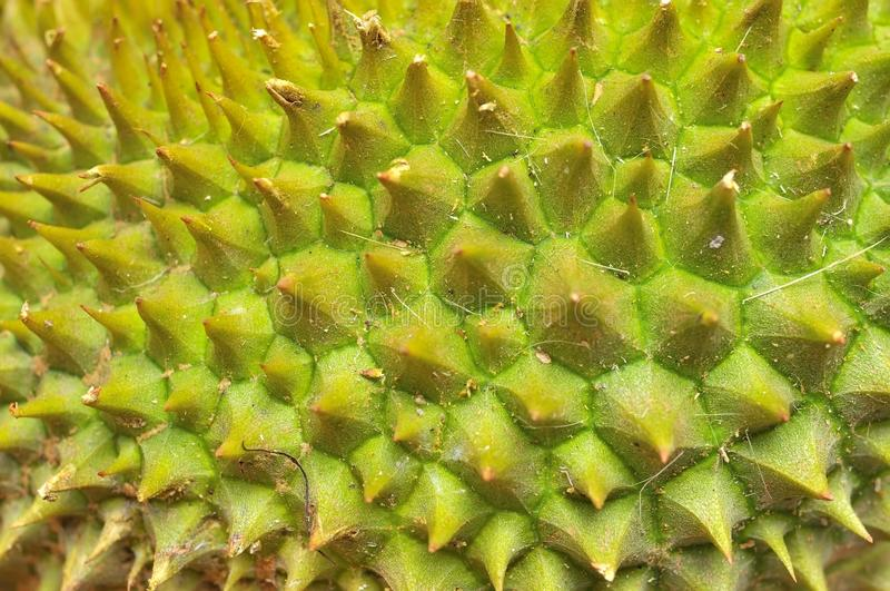 Download Closeup of durian texture stock photo. Image of thorn - 16350436