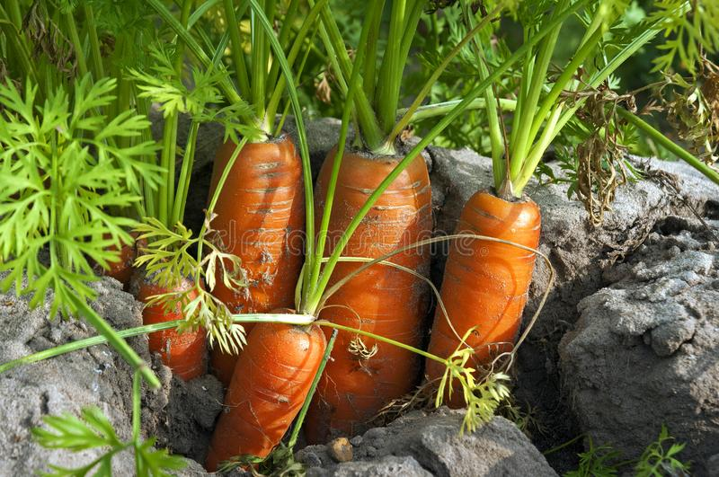 Closeup dutch carrots in the soil in carrot field. The Netherlands, province of North Holland, village of Heiloo: in a root field the orange roots, winter stock image
